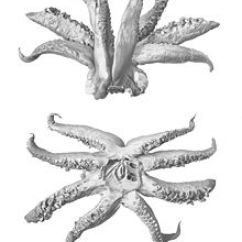 Labeled Diagram Of Octopus Furnace Parts Cephalopod Limb Wikipedia Arms And Buccal Mass The Squid Taningia Danae As In Other Octopoteuthidae Tentacles Are Absent Adults