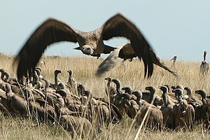 English: Vultures fly in to feed