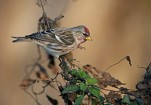 English: Common redpoll Deutsch: Birkenzeisig