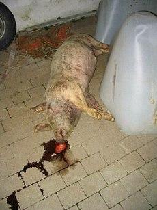 Dead-pig
