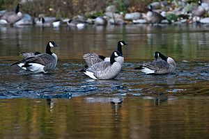 English: Geese are standing in Spokane River, ...