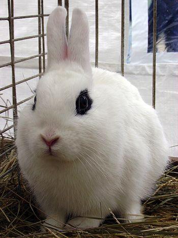 Deutsch: Weißes Kaninchen mit schwarz umrandet...