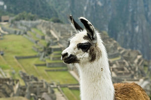 The End of the Inka Trail. A llama (Lama Glama) in front of the Machu Picchu.