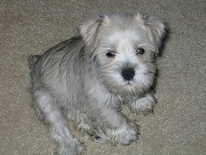 Miniature Schnauzer Puppy 2 months old