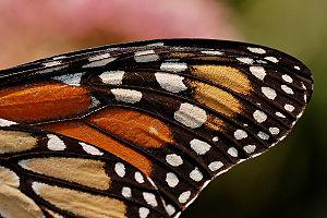 Monarch Butterfly Danaus plexippus Wing 2400px