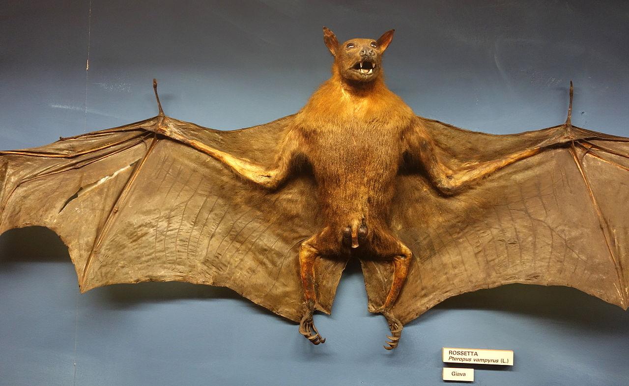 File Pteropus Vampyrus