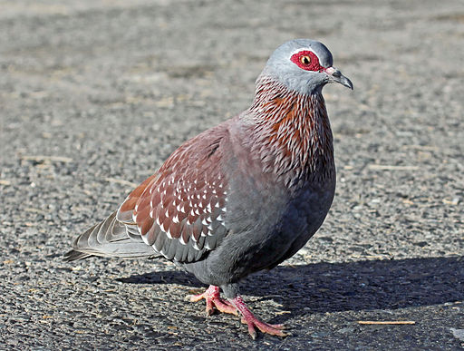 https://i0.wp.com/upload.wikimedia.org/wikipedia/commons/thumb/b/b6/Speckled_Pigeon_RWD1.jpg/512px-Speckled_Pigeon_RWD1.jpg