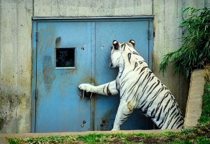 File:White Bengal Tiger at Door (11889542686).jpg