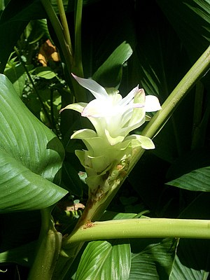 English: I took this photo of a white turmeric...