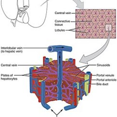 Liver Panel Diagram T5 Ho Ballast Wiring Lobules Of Wikipedia 2423 Microscopic Anatomy Jpg