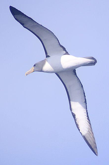 Burung Albatros : burung, albatros, Albatros, Chatham, Wikiwand