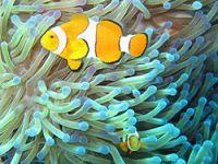 ikan dan rumah anemon