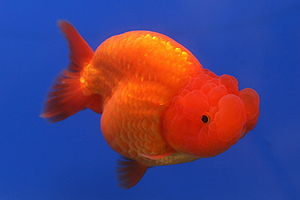 A Ranchu goldfish (Carassius auratus) from The...