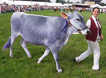 Helvetica cattle