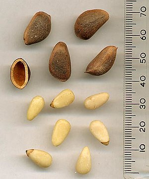 Korean Pine (Pinus koraiensis) pine nuts - uns...