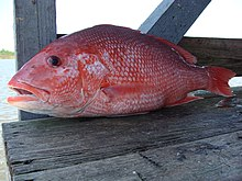 Northern red snapper - Wikipedia the free encyclopedia