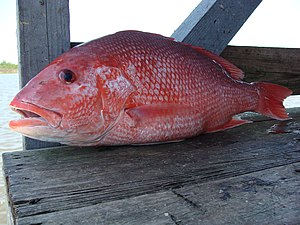 English: Red Snapper caught in the Gulf of Mex...