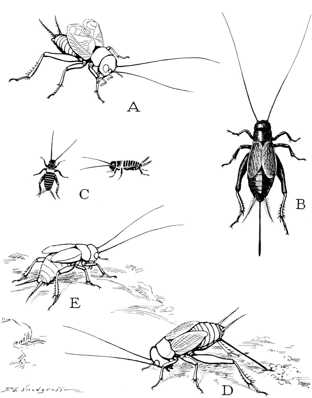cricket life cycle diagram 2000 toyota corolla engine field wikipedia