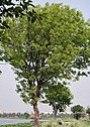 Tree in new leaves I IMG 6222.jpg