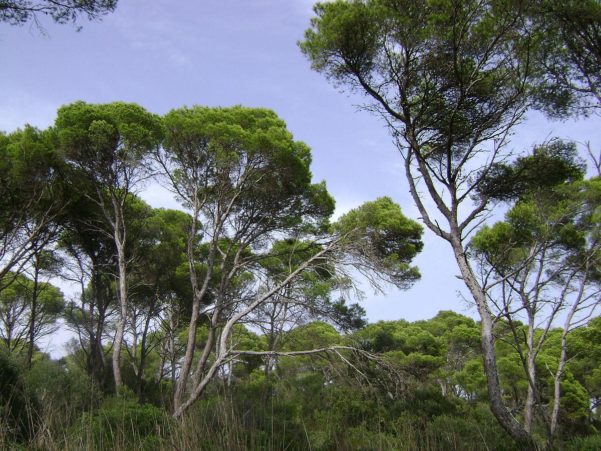 Pinus Halepensis Wikip 233 Dia