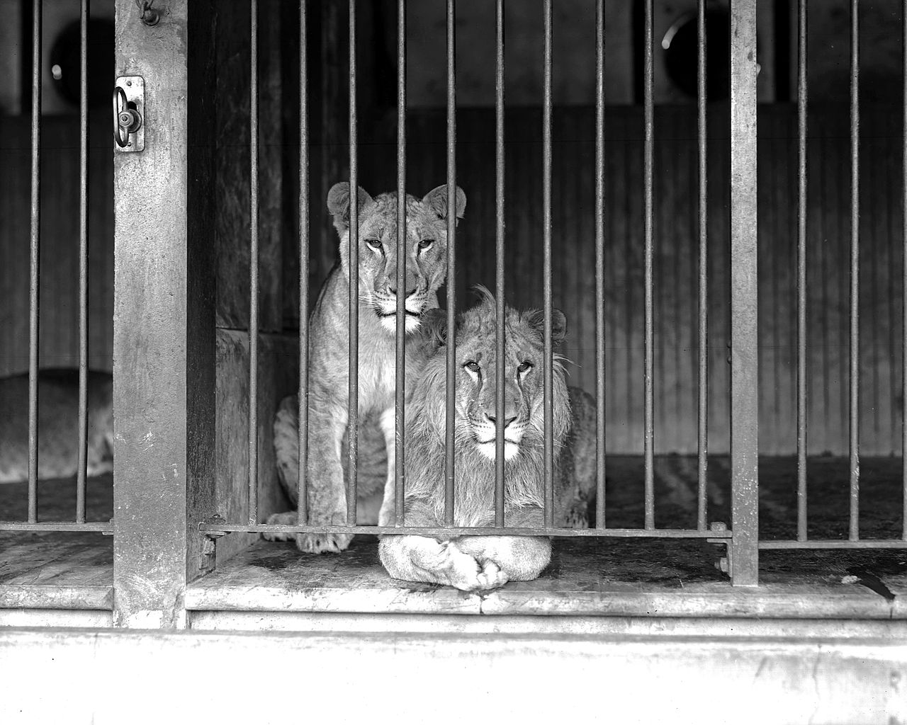 FileTwo caged lions at the Los Angeles Zoo ca1920 CHS