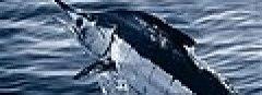 Atlantic blue marlin.jpg