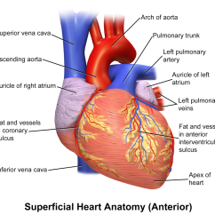 Heart Diagram Coronary Sinus Plug Wire File Blausen 0451 Anterior Png Wikimedia Commons