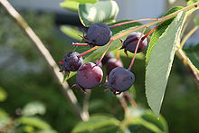 June Berry Amelanchier lamarckii
