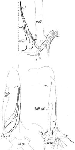 Johnston Cranial nerve 0.png