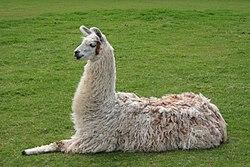 Llama lying down.jpg