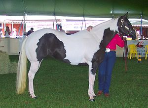 A horse with pinto coloring, specifically the ...