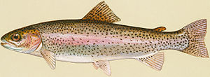 English: Rainbow trout
