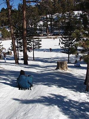 English: Pinus ponderosa (habit with Kim sledd...