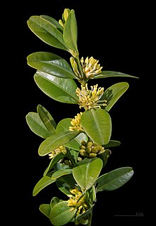 Buxus sempervirens  Wikipdia