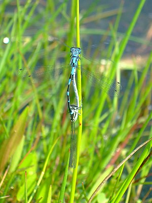 English: Variable Damselfly threesome: mating ...