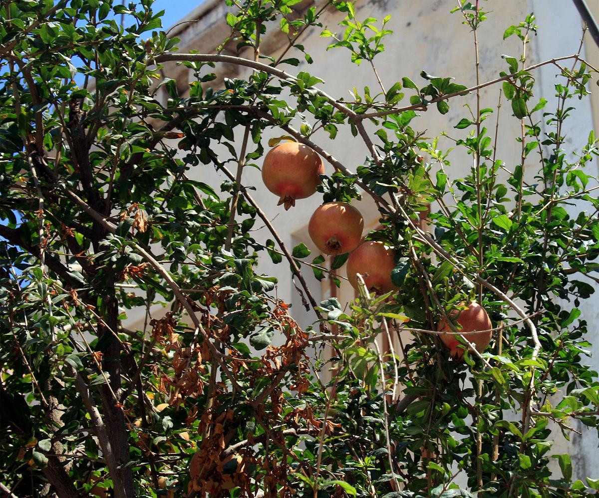 granaatappelboom  WikiWoordenboek