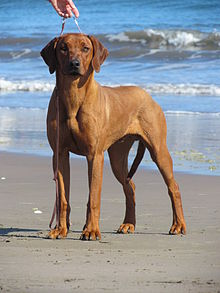 Lycan Puppies For Sale : lycan, puppies, Rhodesian, Ridgeback, Wikipedia