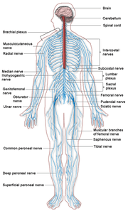 The Human Nervous System. Red is CNS and blue is PNS.