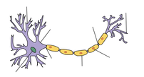 Diagram of neuron with arrows but no labels. Made using FireFox and GIMP from Neuron.svg by Dhp1080.