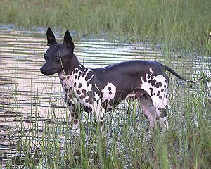 American Hairless Terrier - Tagnon