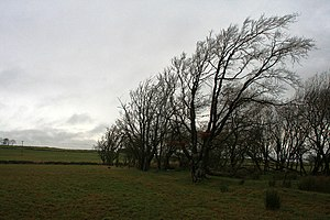 English: Wind-blown Trees Near Lesmahagow.