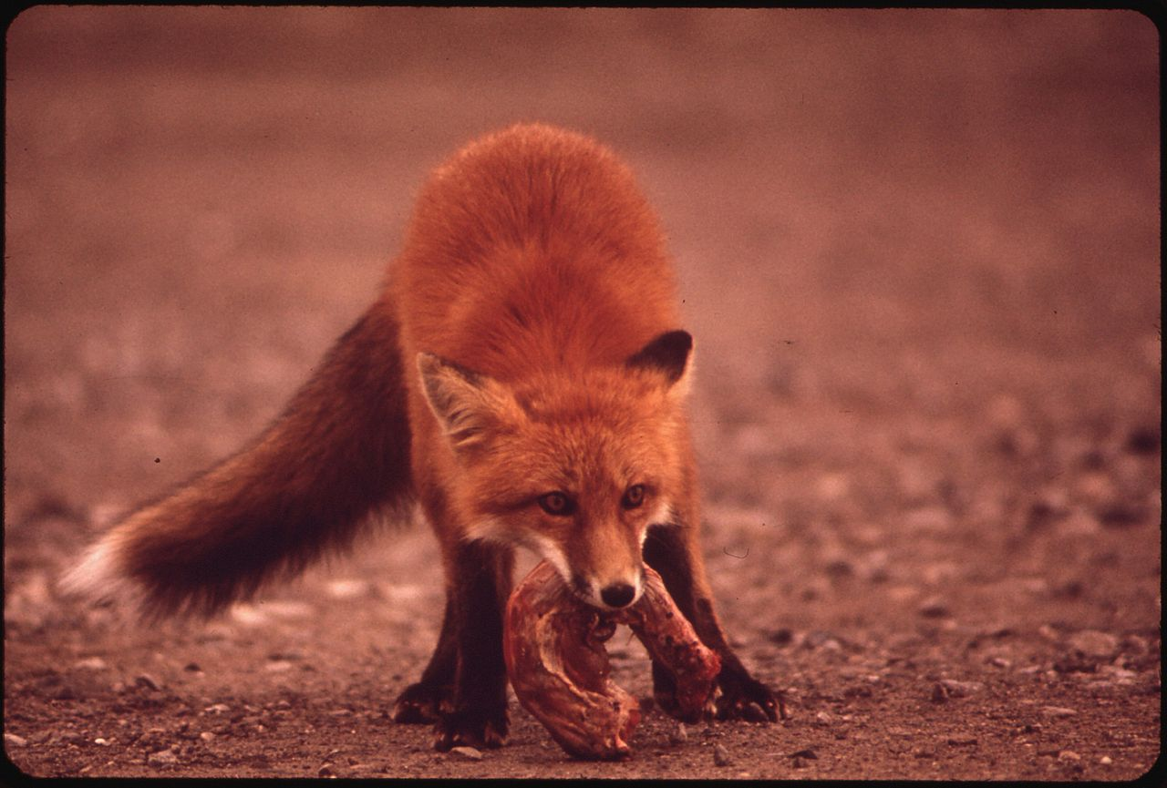 FileYOUNG FEMALE FOX NEAR GALBRAITH LAKE CAMP WRESTLING WITH A TURKEY NECKA HANDOUT FROM THE
