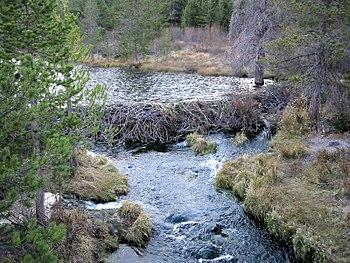 Beaver dam, northern California, USA