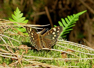 English: Speckled Wood butterfly - in the wood...