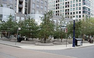 Pine trees growing in Toronto's Yorkville Park.
