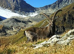 English: Alpine Ibex near Lauchernalp (Lötsche...