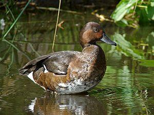 Ferruginous Duck Deutsch: Moorente Polski: Pod...