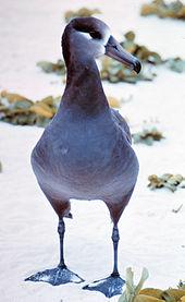 albatross | definition in the English-Danish Dictionary