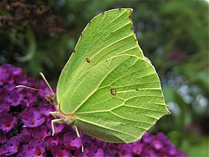 English: Brimstone butterfly The Brimstone Gon...