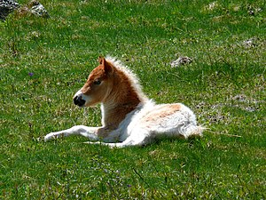 English: A foal wakes up after a nap in the gr...